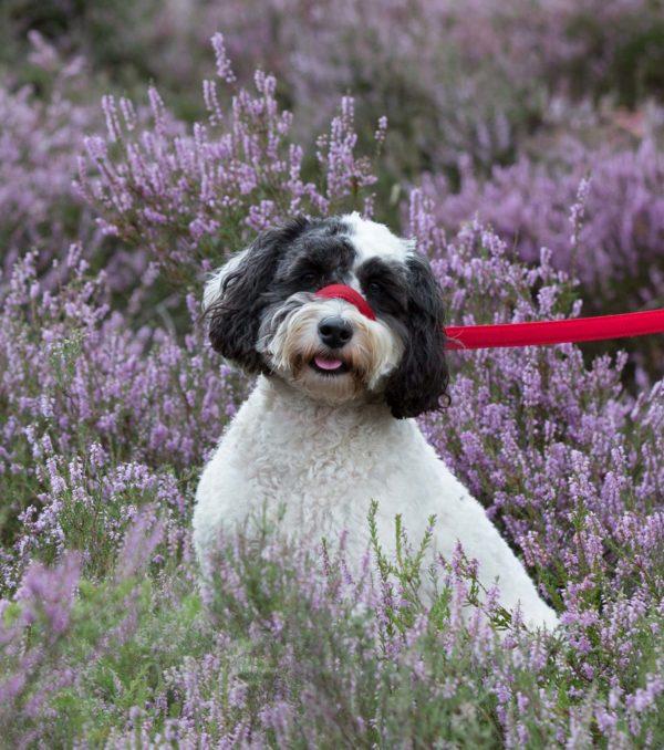 UniWalker figure of 8 dog lead red