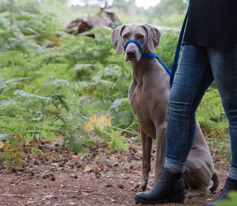 UniWalker Figure of 8 dog lead blue