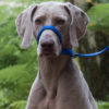 Uniwalker Figure of 8 training dog lead blue